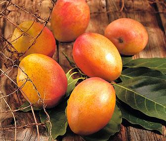 Mangoes In Jamaica Destination Jamaica